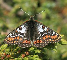 Cynthias Fritillary butterfly, Rila Mountains Bulgaria by Michael Field