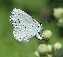 Holly Blue butterfly on bramble flowers, bulgaria by Michael Field