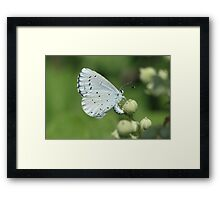 Holly Blue butterfly on bramble flowers, bulgaria Framed Print