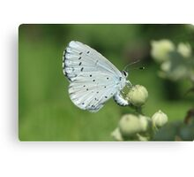 Holly Blue butterfly on bramble flowers, bulgaria Canvas Print