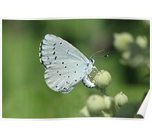 Holly Blue butterfly on bramble flowers, bulgaria Poster