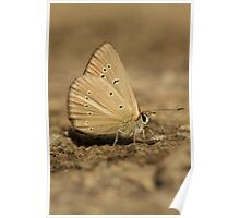 Ripart's Anomalous Blue butterfly on mountain track, Bulgaria Poster