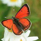 Balkan Copper butterfly on wildflowers, Bulgaria  by Michael Field