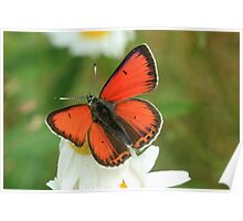 Balkan Copper butterfly on wildflowers, Bulgaria  Poster