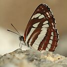 Common Glider butterfly on rocks, Rila Mountains Bulgaria by Michael Field