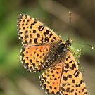 Spotted Fritillary Butterfly (female), Rila Mountains, Bulgaria by Michael Field