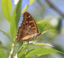 Lesser Purple Emperor butterfly, Rila Mountains, Bulgaria by Michael Field