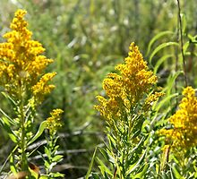 Goldenrod by Stephen Thomas