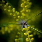 Blooming Wattle by Kate Caston