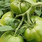 Green Tomatoes  by Stephen Thomas