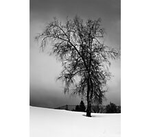 Birch in a Field Photographic Print