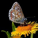 Common Blue by snapdecisions