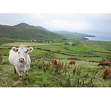 A Cow in Kerry Photographic Print