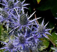 Blue Thistle (Eryngium) by ChelseaBlue