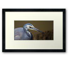 White-faced Heron (Egretta Novaehollandiae) Framed Print