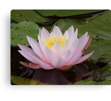 A floating lily Canvas Print