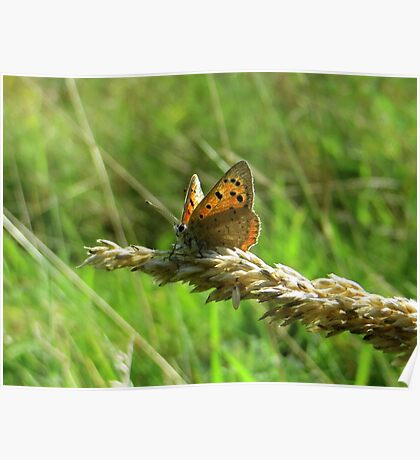Small Copper on wheat flower Poster
