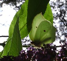 Brimstone butterfly in the sun by chelblack