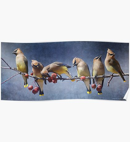row of waxwings with crabapple fruit Poster