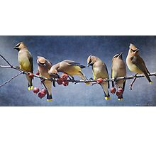 row of waxwings with crabapple fruit Photographic Print