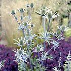 Eryngium flowers by Kevin Allan