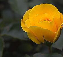 Yellow Rose by bronwyn febey photography