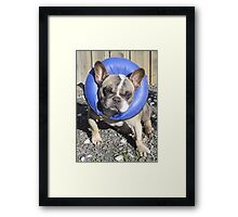 Fashion Forward Frenchie Framed Print