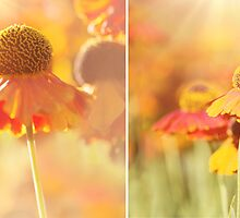 Sunlit Orange Helenium Flowers Triptych by Natalie Kinnear