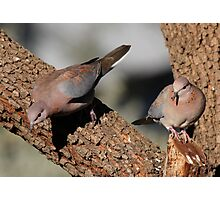 Laughing Doves Photographic Print