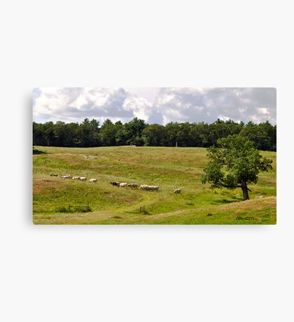 Appleton Cows Canvas Print
