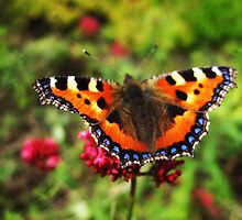 Red Admiral butterfly by Yorkspalette