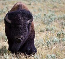 American Bison by Michael Atkins