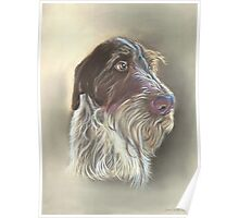 German Wire haired Pointer Poster