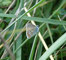 Small Blue Butterfly by Tom Curtis