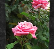 Pink Roses in Anzures 5  Blank P4F0 by Christopher Johnson