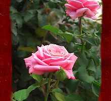 Pink Roses in Anzures 5  Blank P5F0 by Christopher Johnson