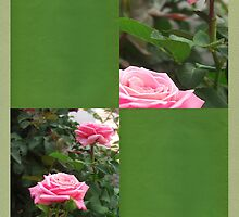 Pink Roses in Anzures 5  Blank Q5F0 by Christopher Johnson