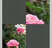 Pink Roses in Anzures 5  Blank Q6F0 by Christopher Johnson