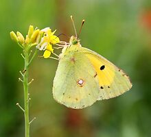 The Clouded Yellow - Colias croceus by Lepidoptera