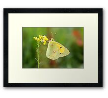 The Clouded Yellow - Colias croceus Framed Print
