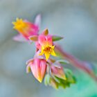 Echeveria by Stephen Knowles