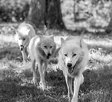 Tree wolves in the wood by Reinis Fretis