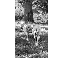 Tree wolves in the wood Photographic Print