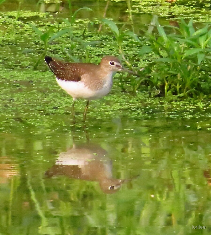 Common Sandpiper by lorilee