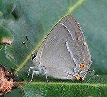 Purple Hairstreak butterfly on Oak leaves, Bulgaria by Michael Field