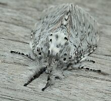 Puss Moth moth (adult) on wood, Rila Mountains, Bulgaria by Michael Field