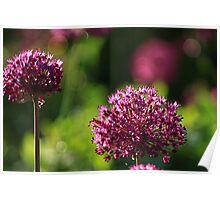 Light Beam Bokeh - Alium Flowers Poster