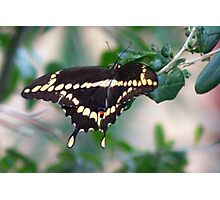 American swallowtail Photographic Print