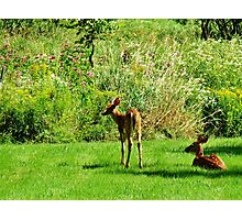 Fawns Photographic Print