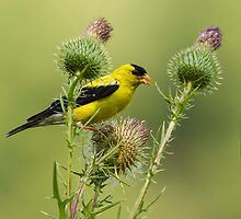 American Goldfinch Eating Thistle Seed by Thomas Young